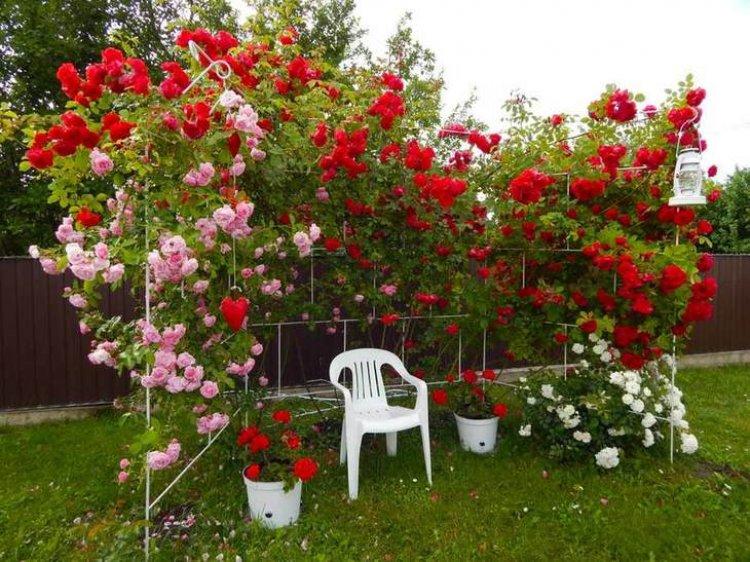 Как вырастить многолетние садовые розы из семян?