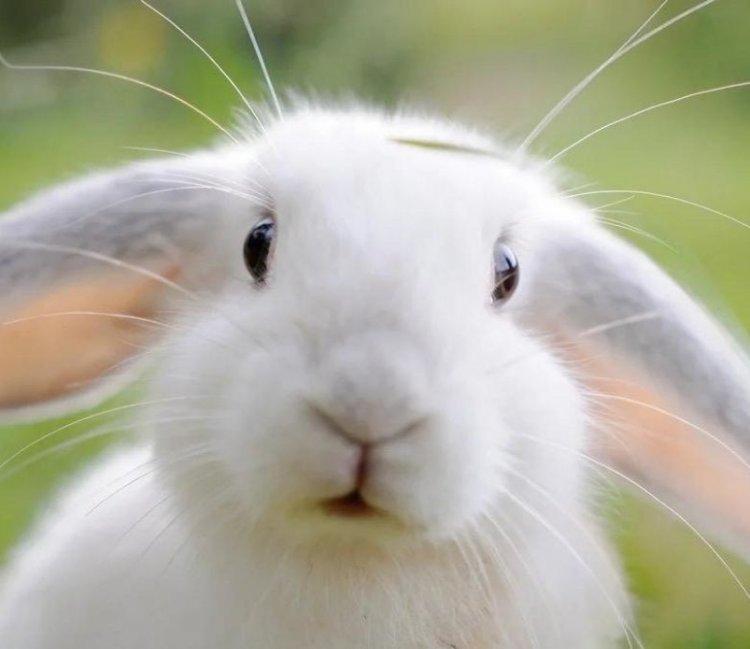 Почему домашний декоративный кролик кусается?